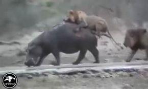 فیلم: راز بقا/ شکار و جنگ حیوانات