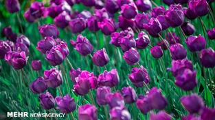 تصاویر فوق العاده از باغ گل های لاله